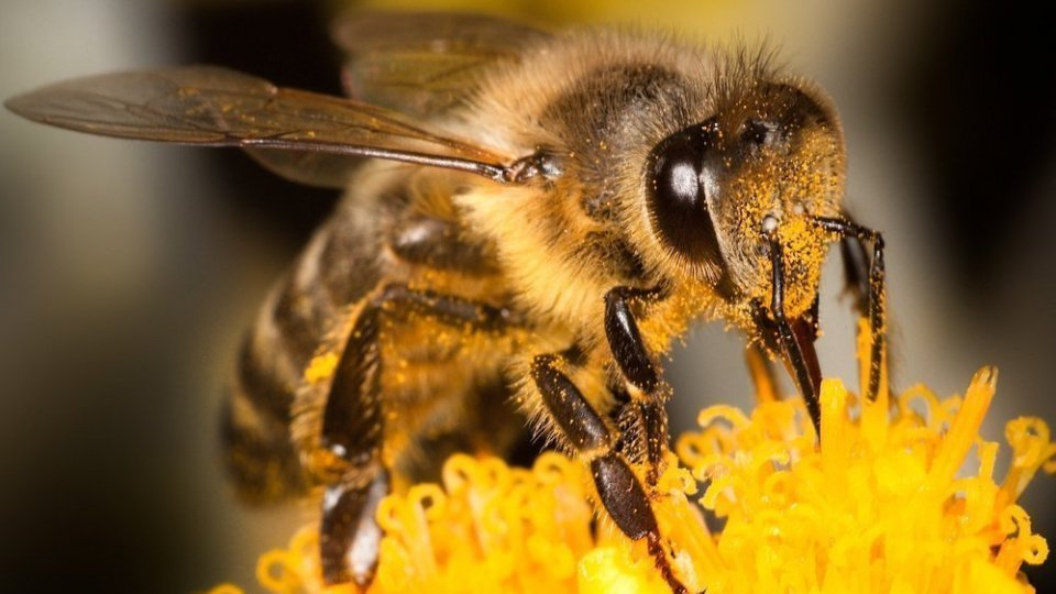 Лечение аденомы простаты пчелиным подмором